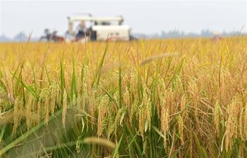 Rice harvested in Nanchang, E China's Jiangxi