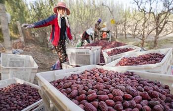 Red jujube enters harvest season in Ruoqiang, Xinjiang
