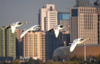 White swans fly to Yellow River wetland in Sanmenxia to spend winter