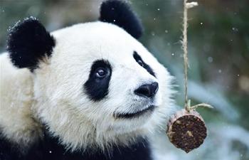Giant pandas eat bamboo during snowfall at zoo in Qinghai