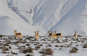 Wild animals forage at Haltent Grassland in NW China's Gansu
