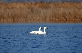 Migratory birds flock to Beidagang Wetland for winter stopover