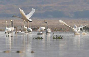 Swans seen over Fuhe River in Nanchang, E China' Jiangxi