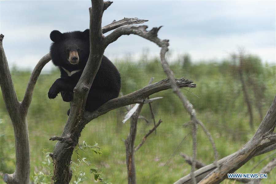 CHINA-HEILONGJIANG-FUYUAN-BLACK BEAR (CN)