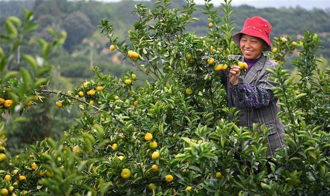 Oranges harvested in Nanfeng County, E China's Jiangxi