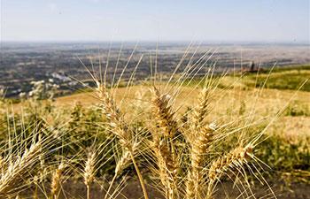 In pics: wheat field in China's Xinjiang
