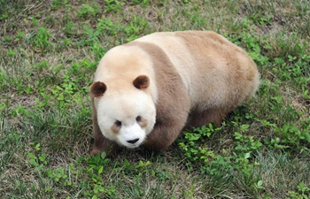 Rare brown and white giant panda seen in Xi'an, NW China's Shaanxi