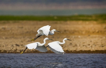 Egrets fly above Poyang Lake in E China's Jiangxi