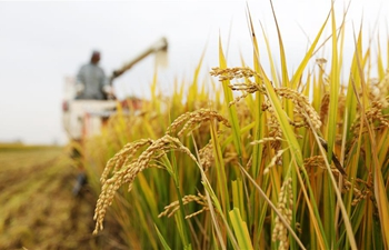 Farmers harvest in fields on Cold Dew solar term