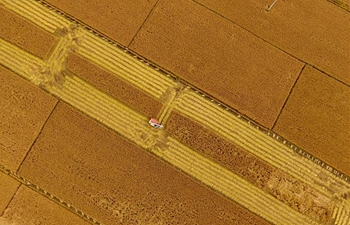 Paddy rice harvested in north China's Hebei