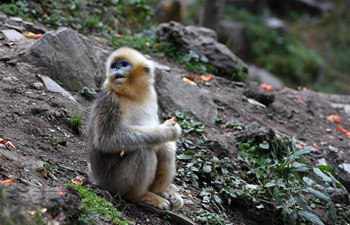 In pics: golden monkeys at Yuhe National Natural Reserve in NW China's Gansu