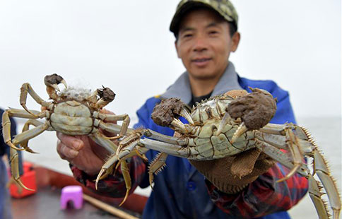 Chinese mitten crabs in Junshan Lake enter best fishing season