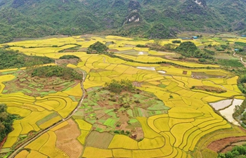 Scenery of rice fields in south China's Guangxi