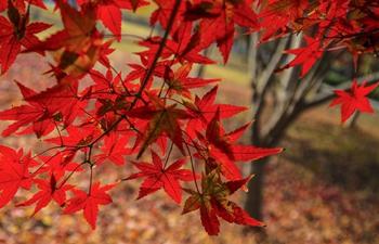Beautiful maple leaves across China