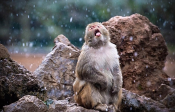 Macaques have fun in snow at Hongshan Forest Zoo in Nanjing, China's Jiangsu