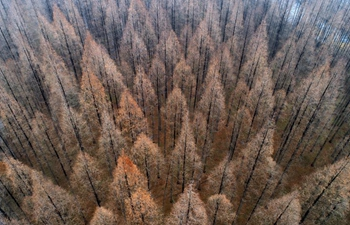 Scenery of metasequoia forest in east China's Jiangsu