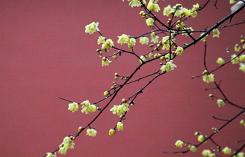 In pics: wintersweet blossoms across China