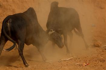 Bulls fight during Maghe Sankranti Festival in Nepal