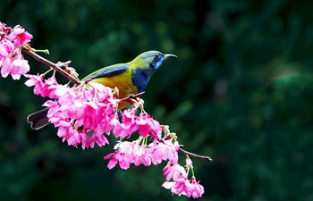Leafbird gathers honey from cherry flowers in Fuzhou, China's Fujian