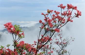 In pics: azalea flowers on Gaomu Mountain in E China's Zhejiang
