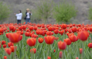 Scenery of tulips in Shahe, N China's Hebei