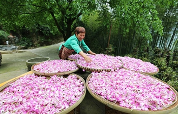 Farmer dries fresh dendrobium noble flowers in SW China's Guizhou