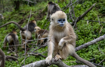 Number of golden monkeys in China's Shennongjia area doubles