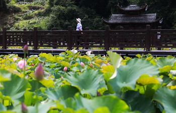 Scenery of lotus flowers on outskirts of Yingshan Township in China's Guizhou