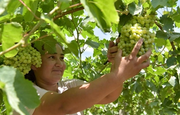 Farmers harvest grapes in Xinjiang