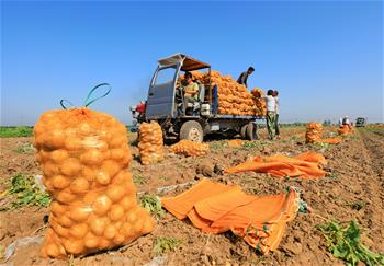 "Potato farmers follow ""plant-to-order"" business mode in China's Hebei"