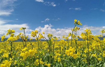 Scenery of blooming cole flowers in NW China's Qinghai