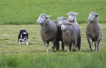 National Sheepdog Finals held in Colorado, U.S.