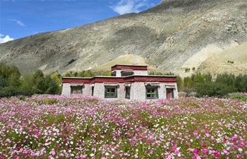 Scenery of blooming cosmos flowers in Nyemo County of Lhasa, China's Tibet