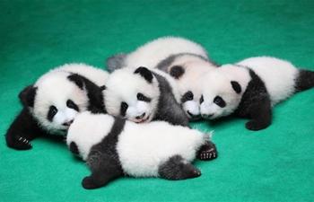 Seven giant panda cubs meet public in China's Sichuan