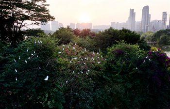 Egrets fly over lake in Bihu ecological garden of Zhangzhou, SE China