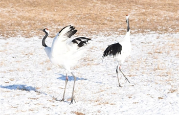 Red-crowned cranes seen at Zhalong National Nature Reserve of Heilongjiang