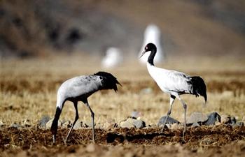 Black-necked cranes seen in river valleys of Lhasa, China's Tibet