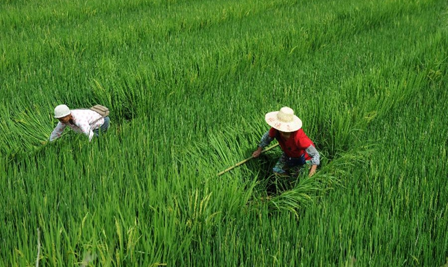 Farmers work in rice field in Cengong, China's Guizhou