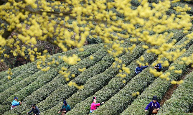 Danzhai County changes traditional management mode of tea plantation for poverty relief