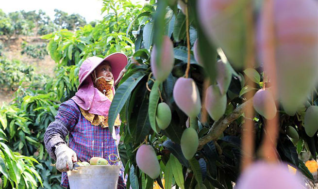 Sanya develops mango industry with great efforts