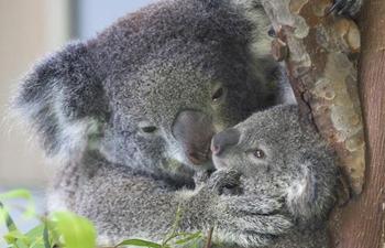 Baby koala makes debut in east China's Nanjing