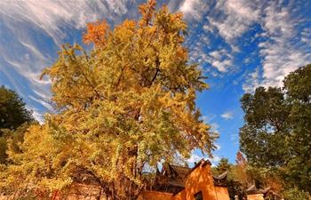 Scenery of ginkgo trees in SE China's Fujian