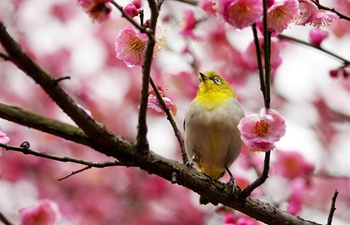 Wild bird rests on blossoming plum tree in Guiyang, SW China's Guizhou