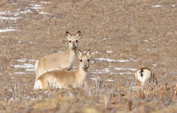 In pics: Tibetan gazelles on grassland in China's Qinghai