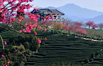 Tourists enjoy view of cherry in tea garden in SE China's Fujian