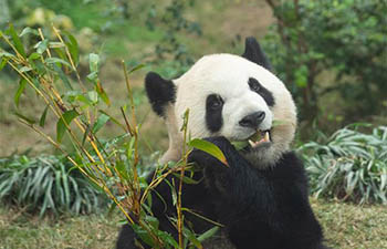 Macao Giant Panda Pavilion offers free admission to celebrate Chinese Lunar New Year