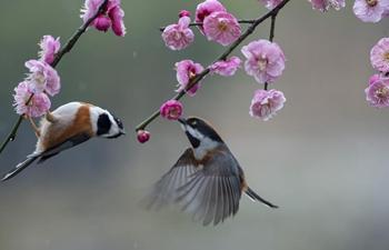 Birds gathering around plum blossom in Jiangsu