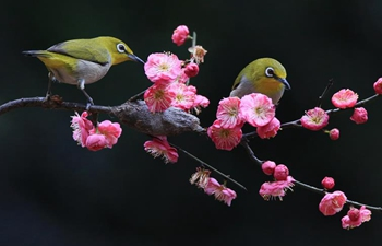 Birds gather around plum blossom in central China's Hunan