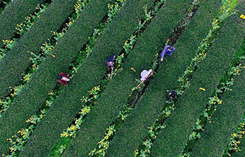 Farmers busy harvesting spring tea in China's Jiangxi, Fujian
