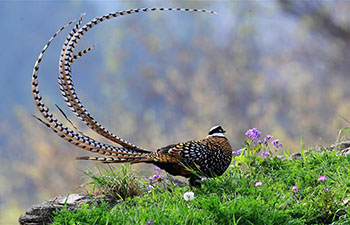 Reeves's pheasants seen in Guangshui, central China's Hubei